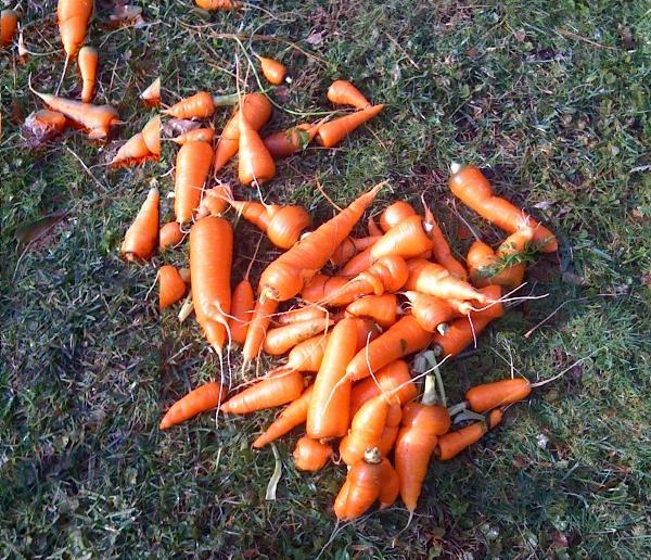dadgansie_carrot.jpg
