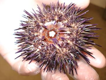 sea-urchin.jpg