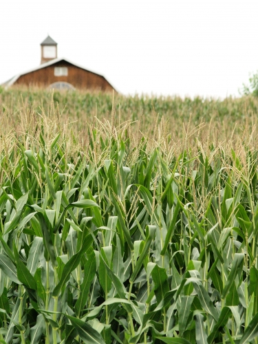 corn-field-farm-1321568-l