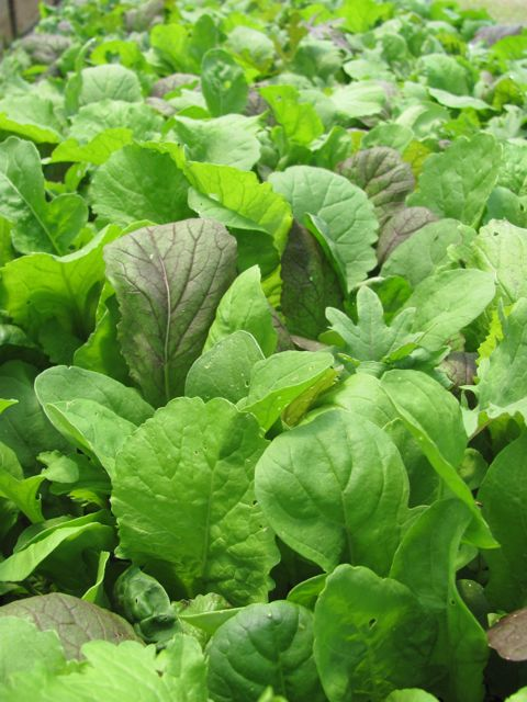 salad greens from Coger's Sugarhouse