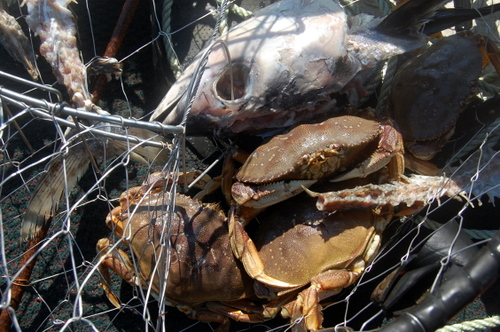 crab with eaten bait